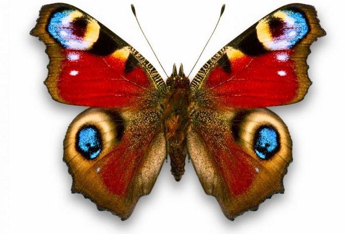 Метелик - опис, види, чим харчується, де мешкає, фото
