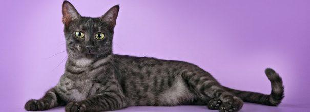 Єгипетська мау: від вуличної кішки до елітної породи