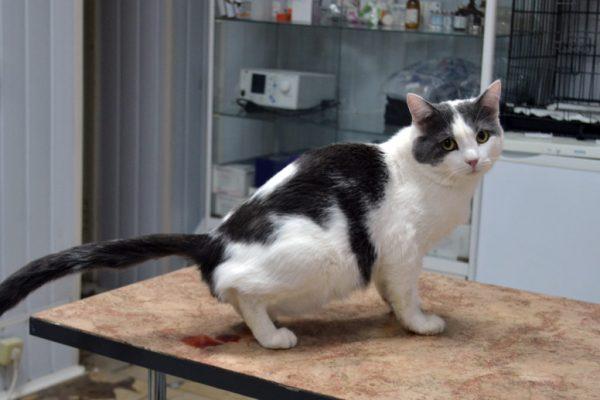 Цистит у кішок: як вилікувати і запобігти
