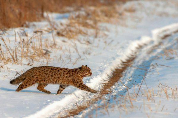 Далекосхідний лісовий кіт: загадка амурської землі