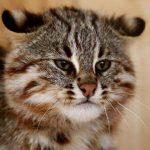 Дальневосточный лесной кот с пушистой шерсткой, но жестким характером