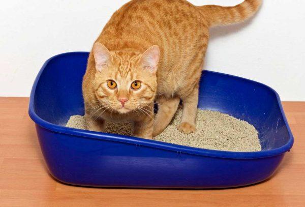 Дегельментізація кішок препаратом Мілпразон
