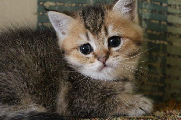Як назвати кішку-дівчинку