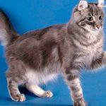 Американский кёрл: редкий, но красивый кот