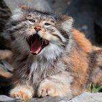 Манул – очаровательный тигровый кот