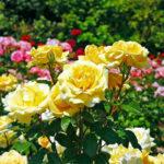 Розы: болезни и вредители