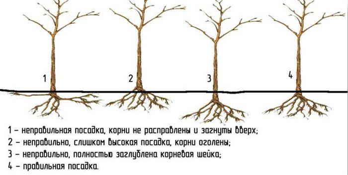Грушу сажать одно дерево или два 17