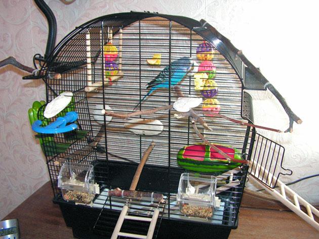 Можно ли сажать двух попугаев в одну клетку 16