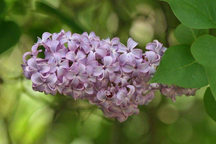 Квіти бузку фото