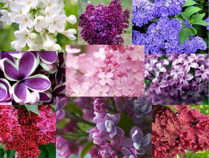 квіти бузку