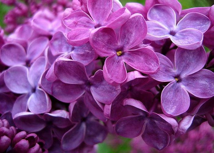Бузок фото квітів