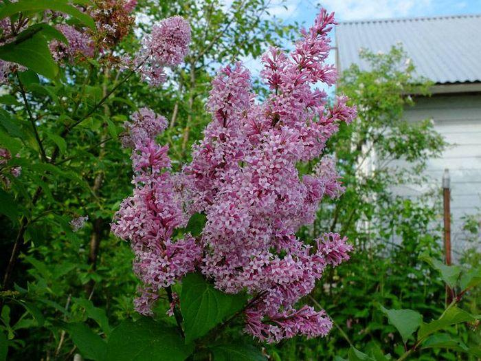Угорська бузок (лат. Syringa josikaea)