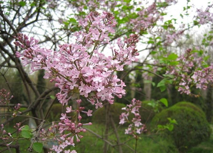 Широколиста бузок (Syringa oblata)