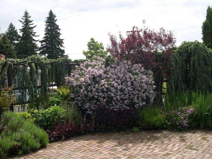 Оксамитова бузок в дизайні саду