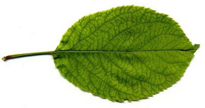 Лист яблуні фото