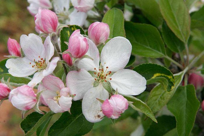 Фото квітів яблуні