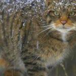 Дикий лісовий кіт: древній хижак в домашніх умовах