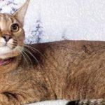 Дорога кішка з унікальним походженням – порода каракет
