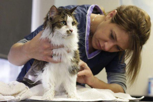 Як позбавити кота від лупи: огляд ефективних методів