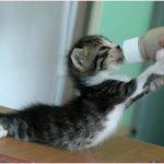 Як правильно годувати кошенят
